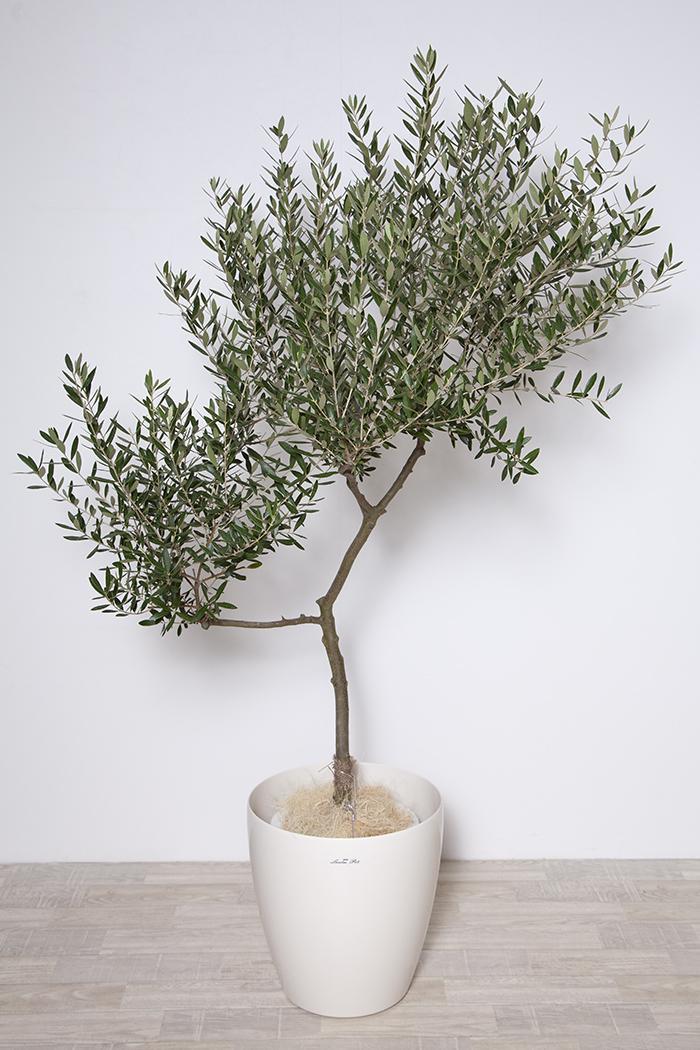 観葉植物 オリーブの木 9号鉢 ⑤