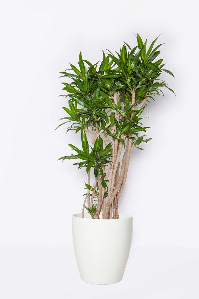 観葉植物 ドラセナ ソングオブジャマイカ(8号鉢)