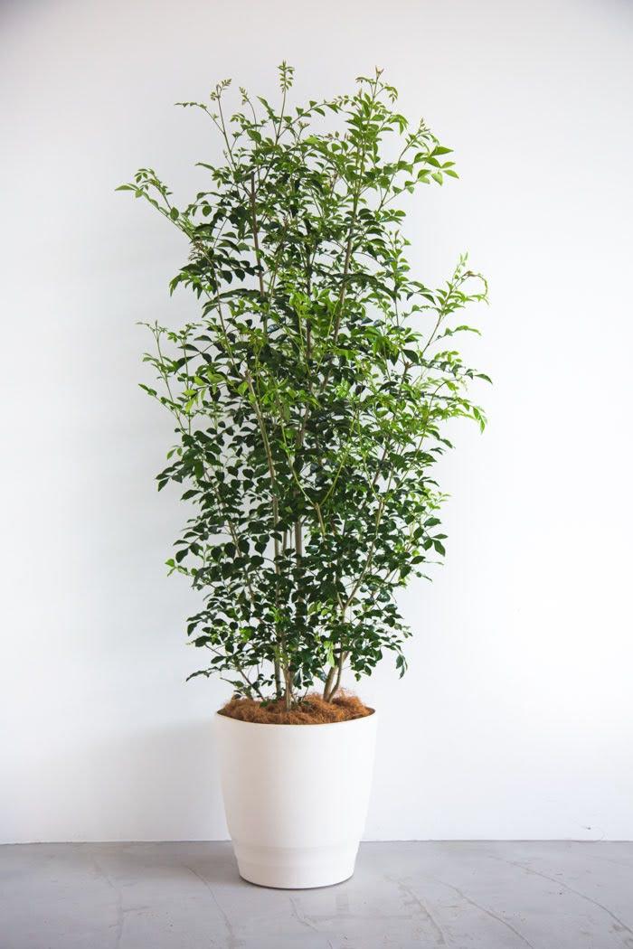 観葉植物 シマトネリコ(10号鉢)