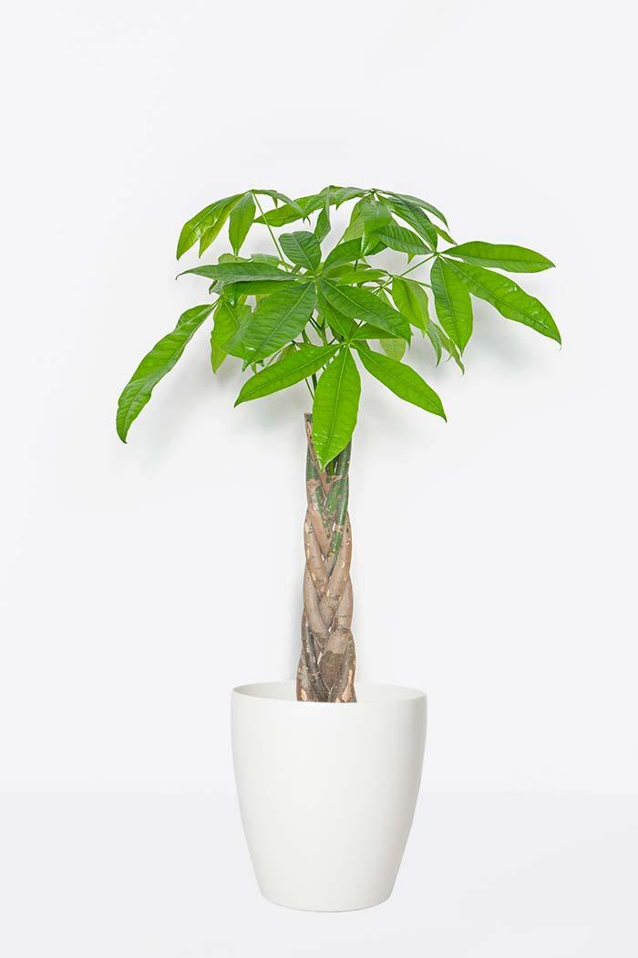 観葉植物 パキラ(8号鉢)