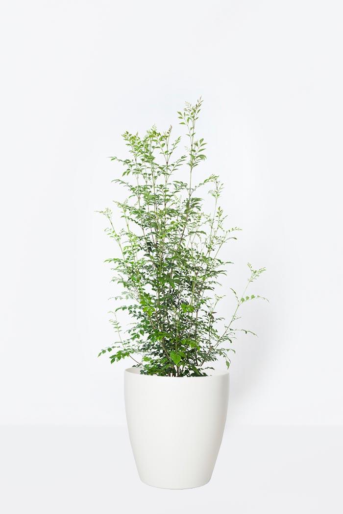 観葉植物 シマトネリコ(8号鉢)