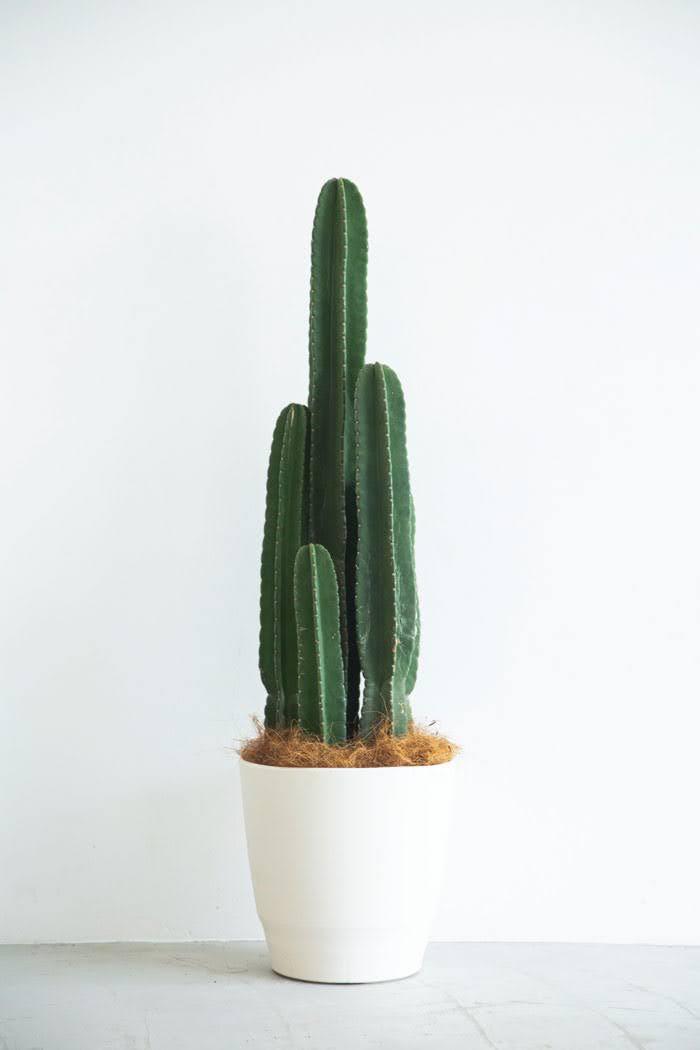 観葉植物 柱サボテン(10号鉢)