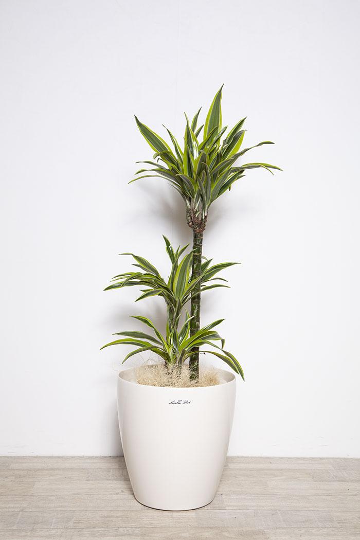 観葉植物 ドラセナ ワーネッキーレモンライム  ※1点物 8号鉢