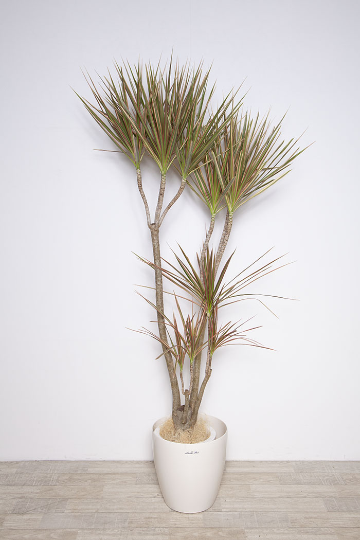 観葉植物 ドラセナコンシンネレインボー ※1点物 8号鉢