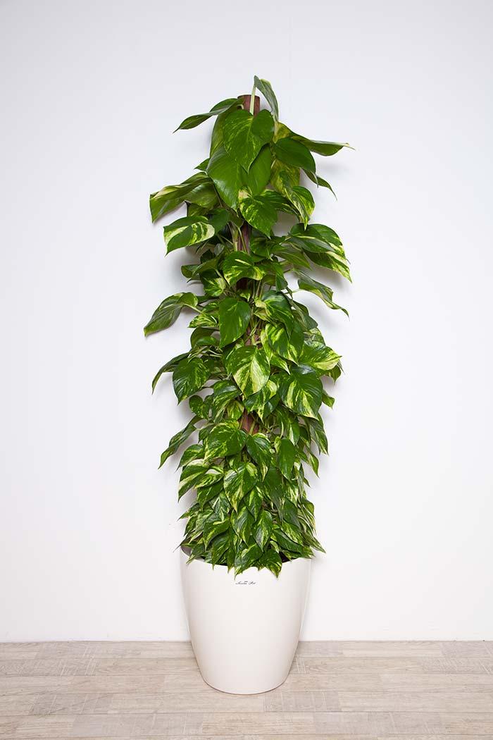 観葉植物 ポトス ※1点物 10号鉢