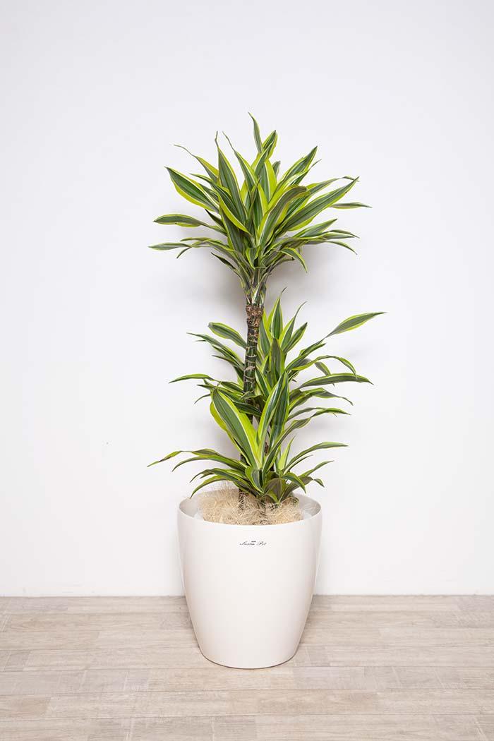 観葉植物 ワーネッキーレモンライム ※1点物 8号鉢