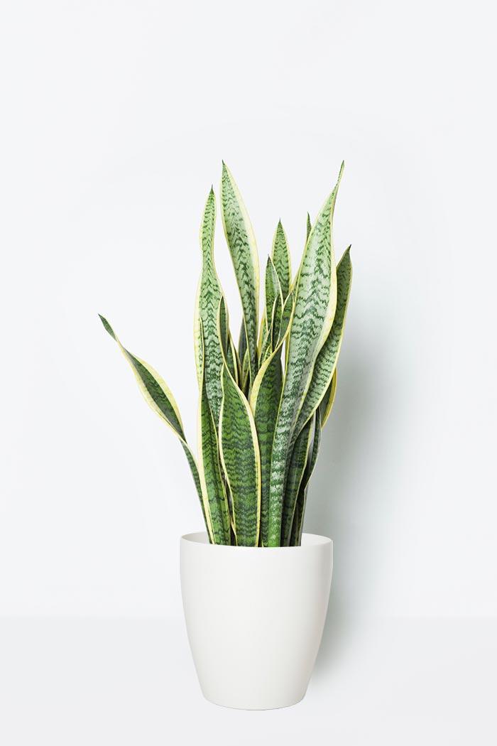 観葉植物 サンスベリア ローレンチ(8号鉢)