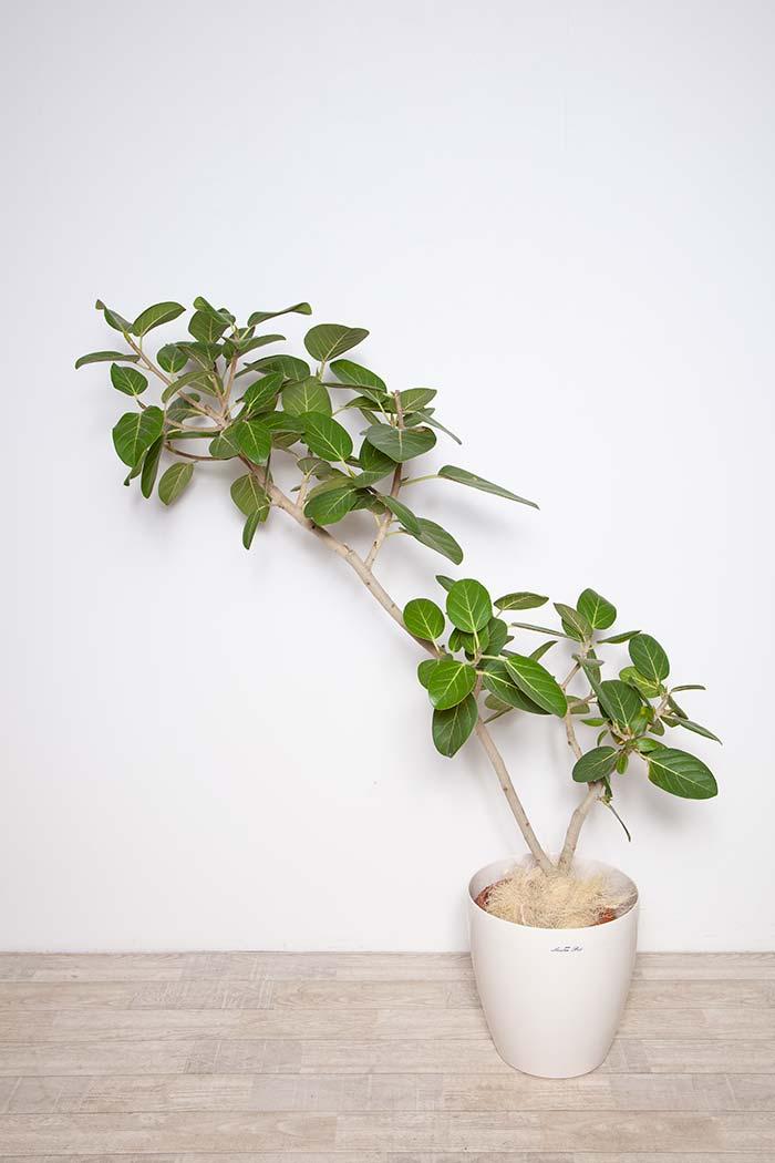 観葉植物 ベンガレンシス ※1点物 8号鉢