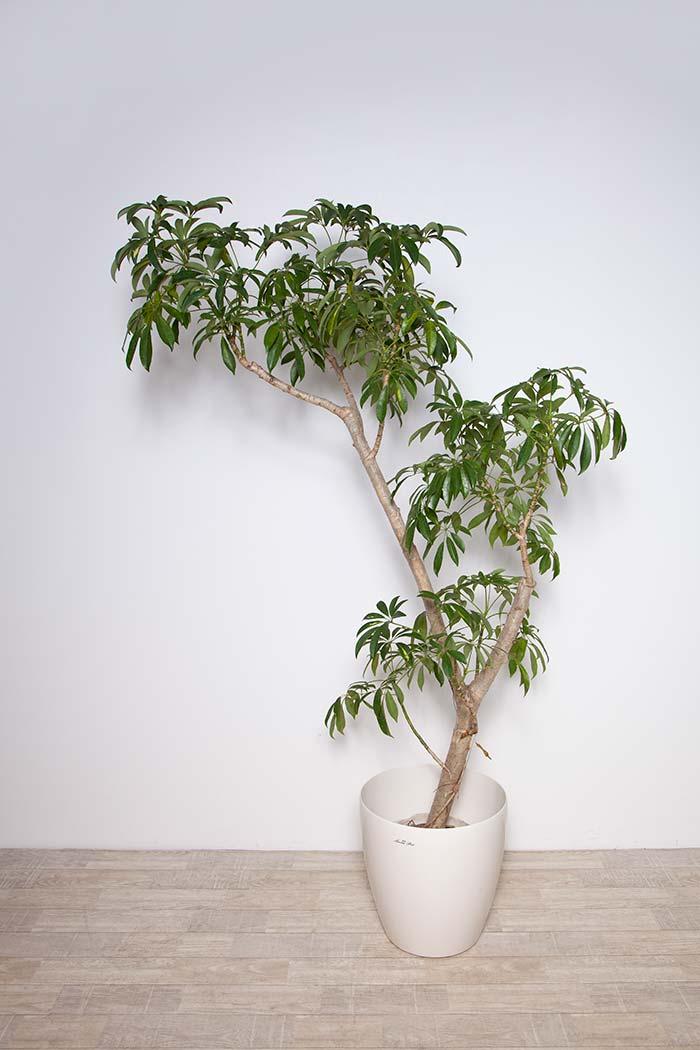 観葉植物 シェフレラ ※1点物 8号鉢
