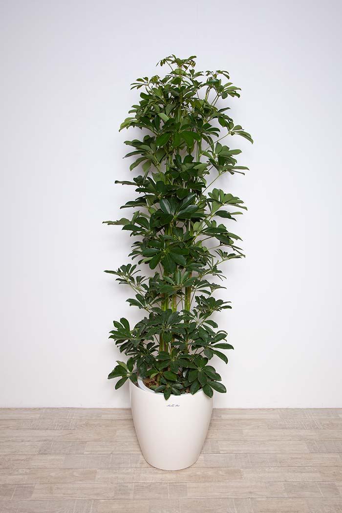 観葉植物 ホンコンカポック ※1点物 10号鉢