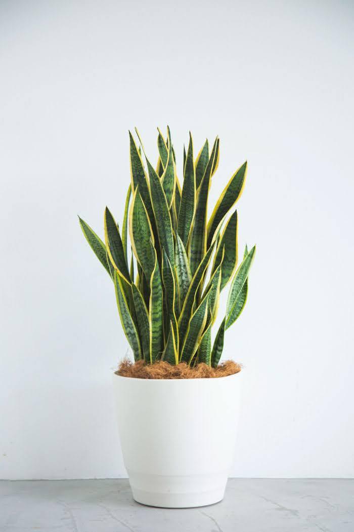観葉植物 サンスベリア ローレンチ(10号鉢)