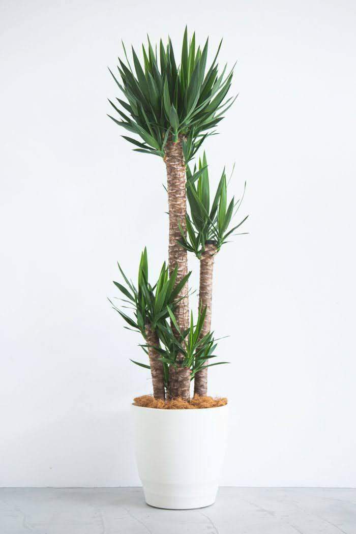 観葉植物 ユッカ(10号鉢)