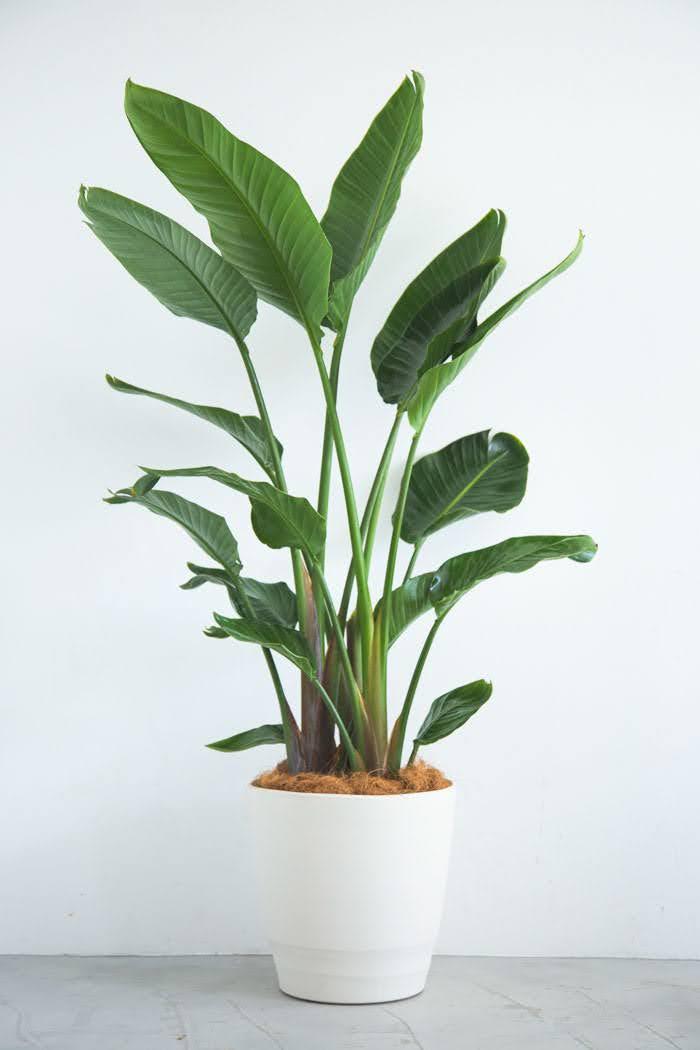 観葉植物 オーガスタ(10号鉢)