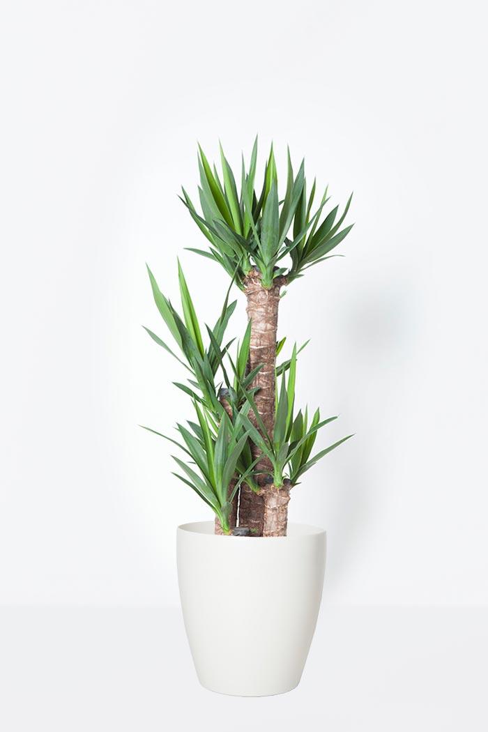 観葉植物 ユッカ(8号鉢)