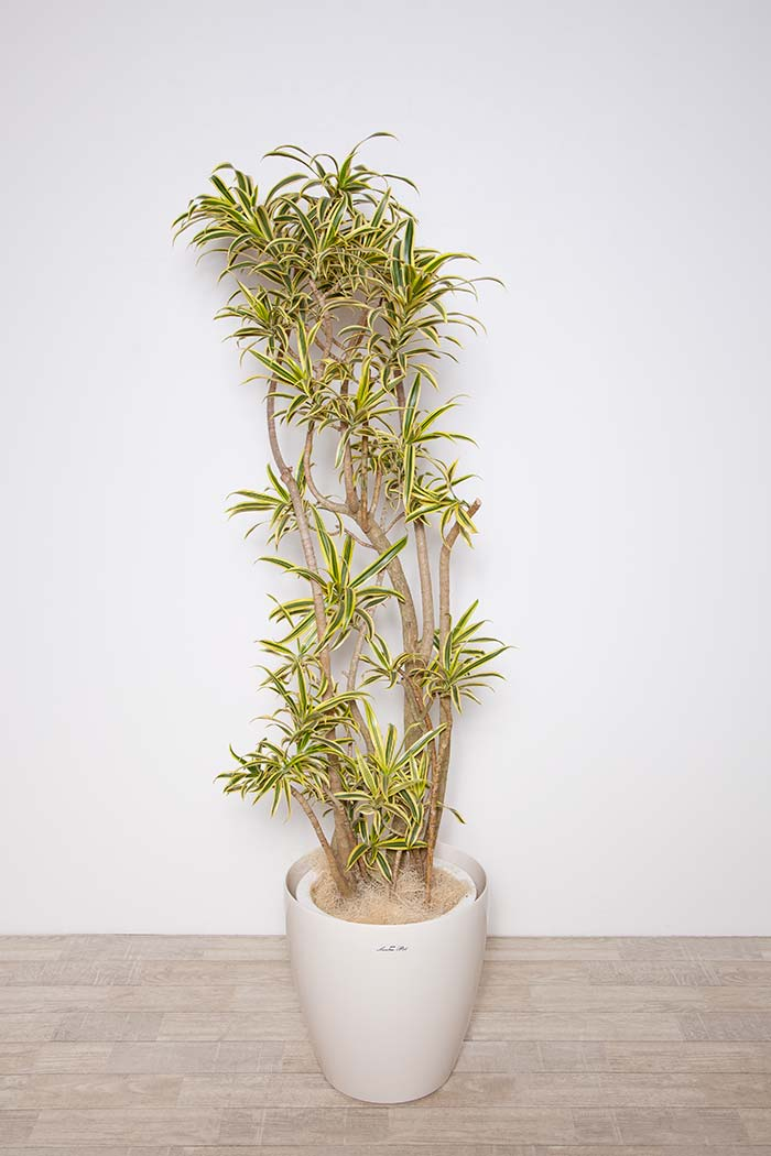 観葉植物 ドラセナ ソングオブ インディア ※1点物 10号鉢