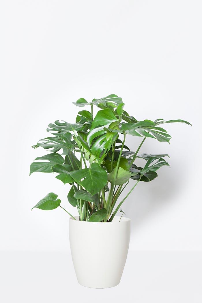 観葉植物 モンステラ(8号鉢)