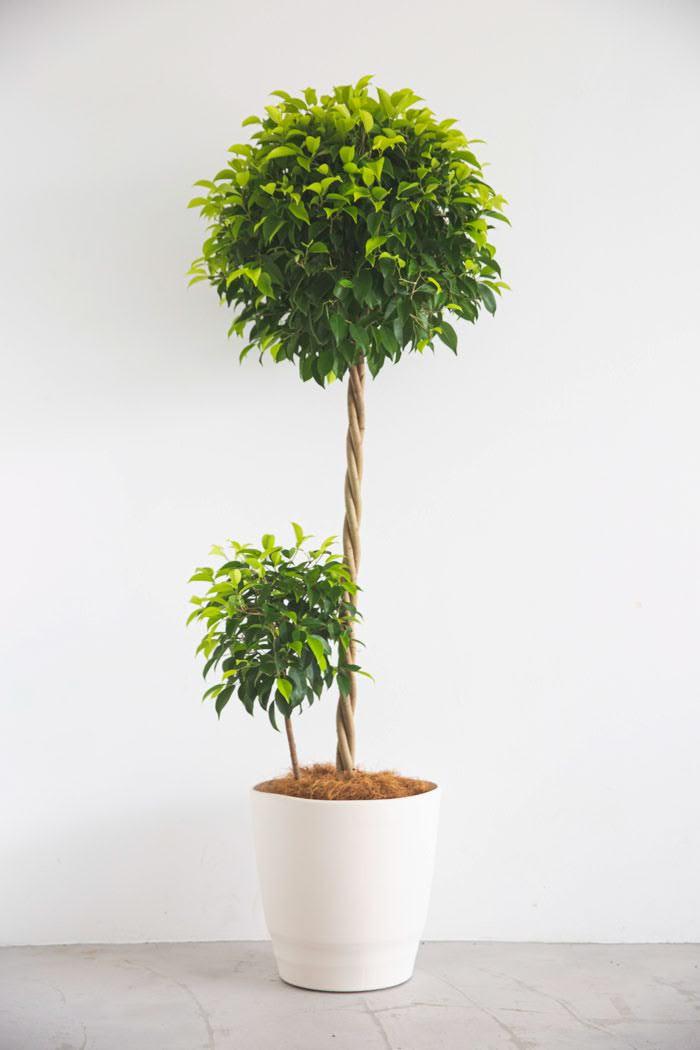 観葉植物 フィカス ベンジャミン(10号鉢)