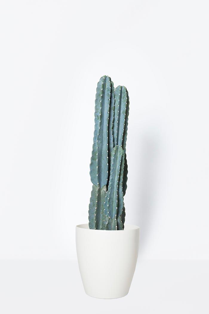 観葉植物 柱サボテン(8号鉢)