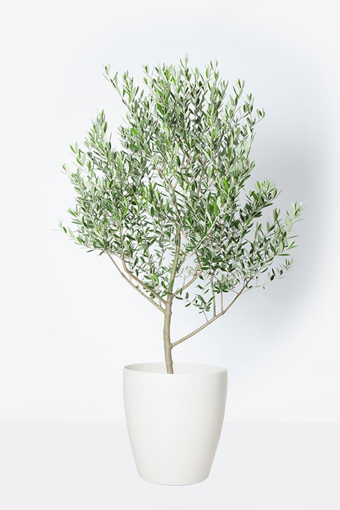 観葉植物 オリーブの木 (創樹)(8号鉢)