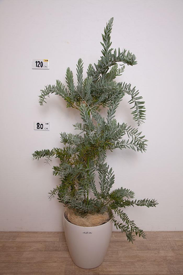 観葉植物 アカシア コベニーブルーブッシュ ※一点物 (8号鉢)