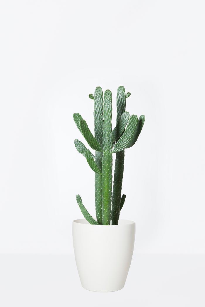 観葉植物 ウチワサボテン(7号鉢)