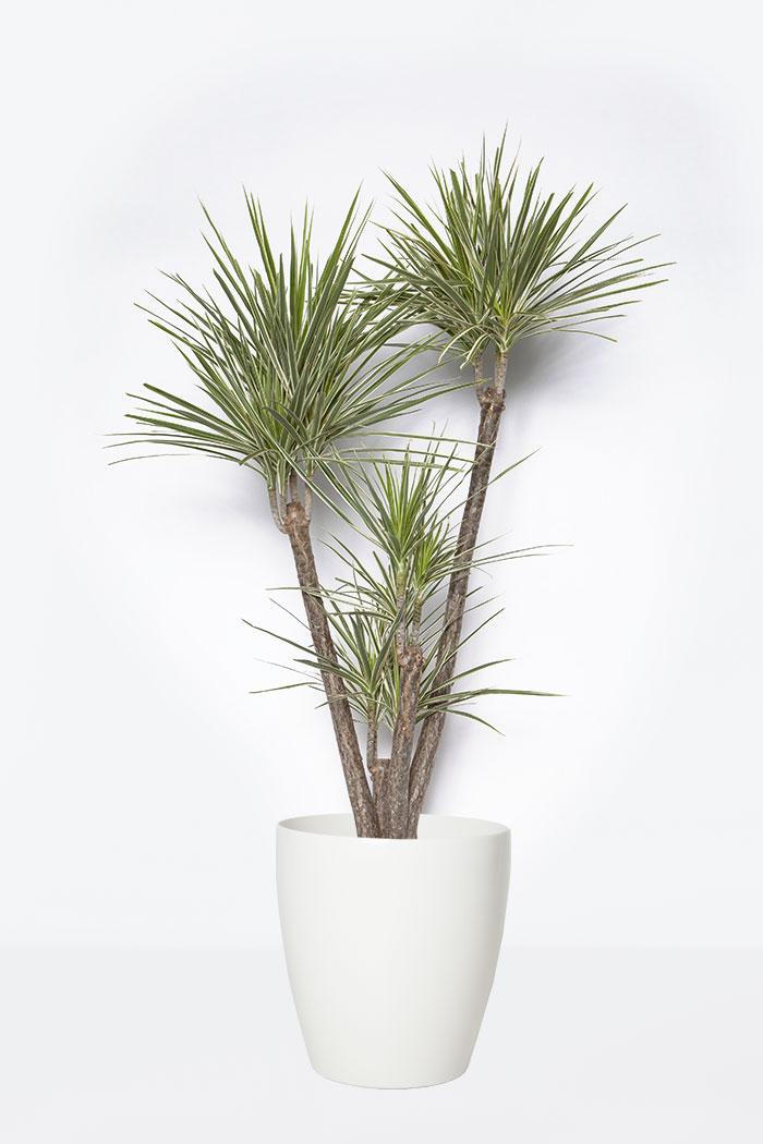 観葉植物 ドラセナ コンシンネホワイボリー(8号鉢)