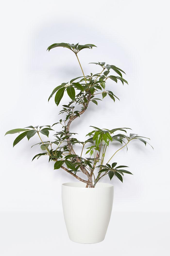 観葉植物 ツピタンサス(8号鉢)