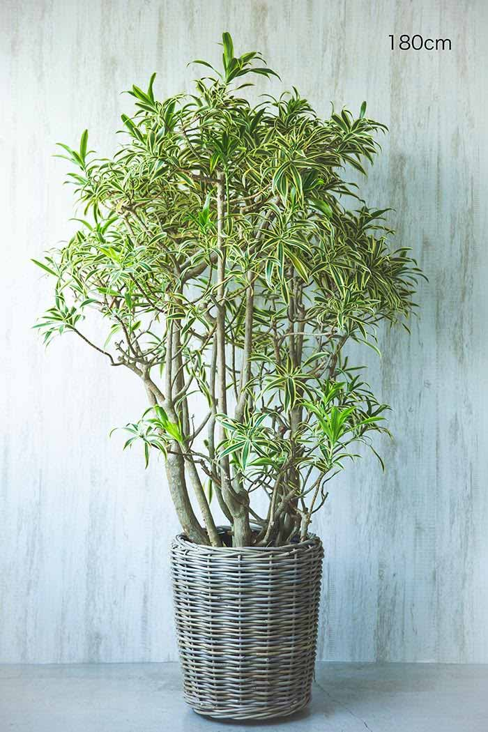 観葉植物 ドラセナソングオブインディア ※1点物 (10号鉢)②