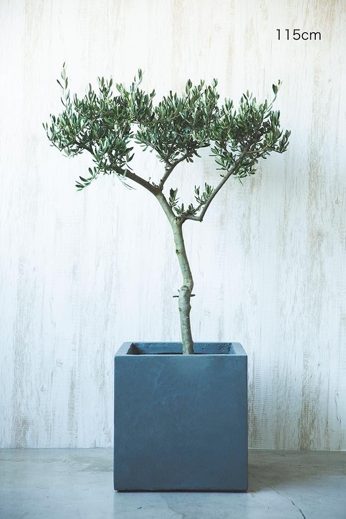 観葉植物 オリーブの木(創樹)※1点物(8号鉢)②