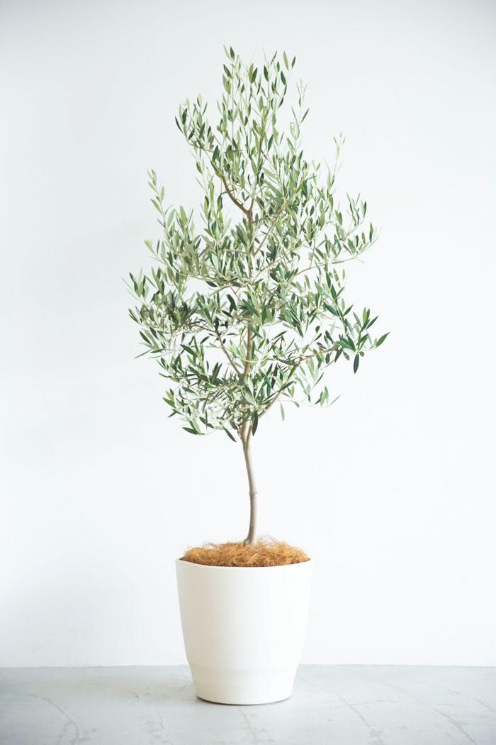 観葉植物 オリーブの木(10号鉢)
