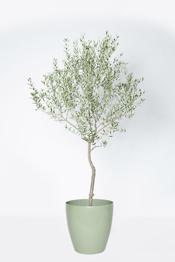 観葉植物 オリーブの木 (創樹)(10号鉢)