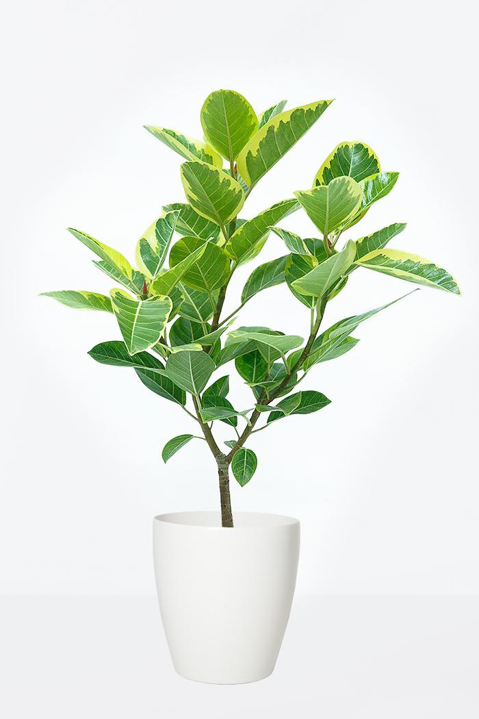観葉植物 フィカス アルテシマ Sサイズ(8号鉢)