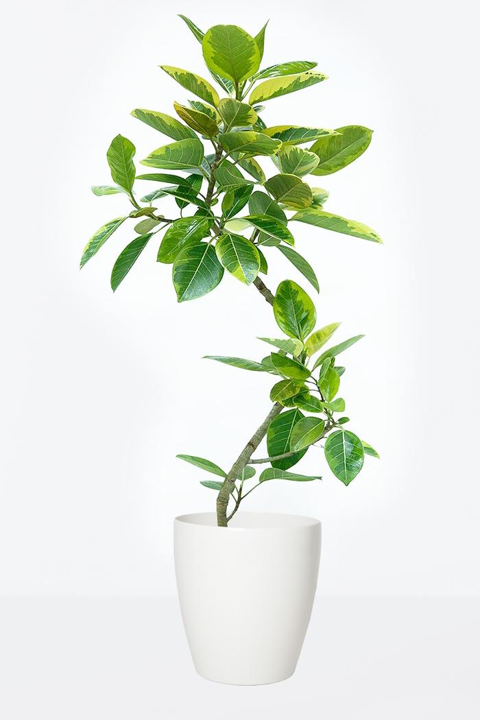 観葉植物 フィカス アルテシマ 曲がり(8号鉢)