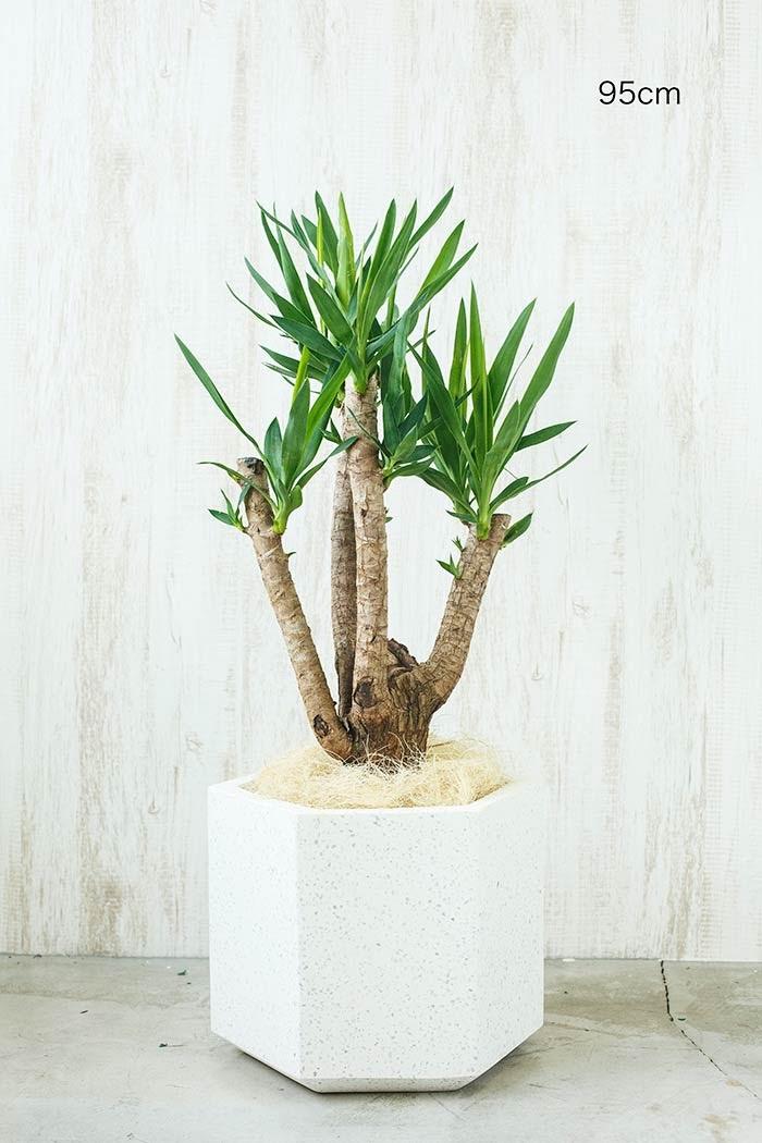 観葉植物 ユッカ ブランチ※一点物(8号鉢)①(使用鉢カバーは別売りです)