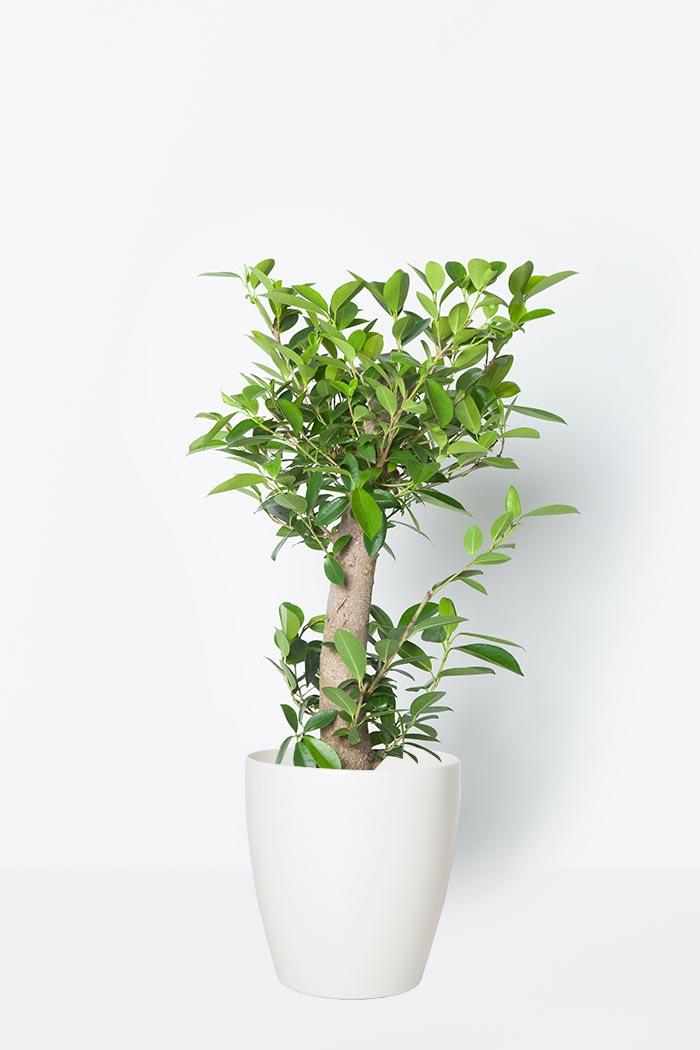観葉植物 ガジュマル(8号鉢)