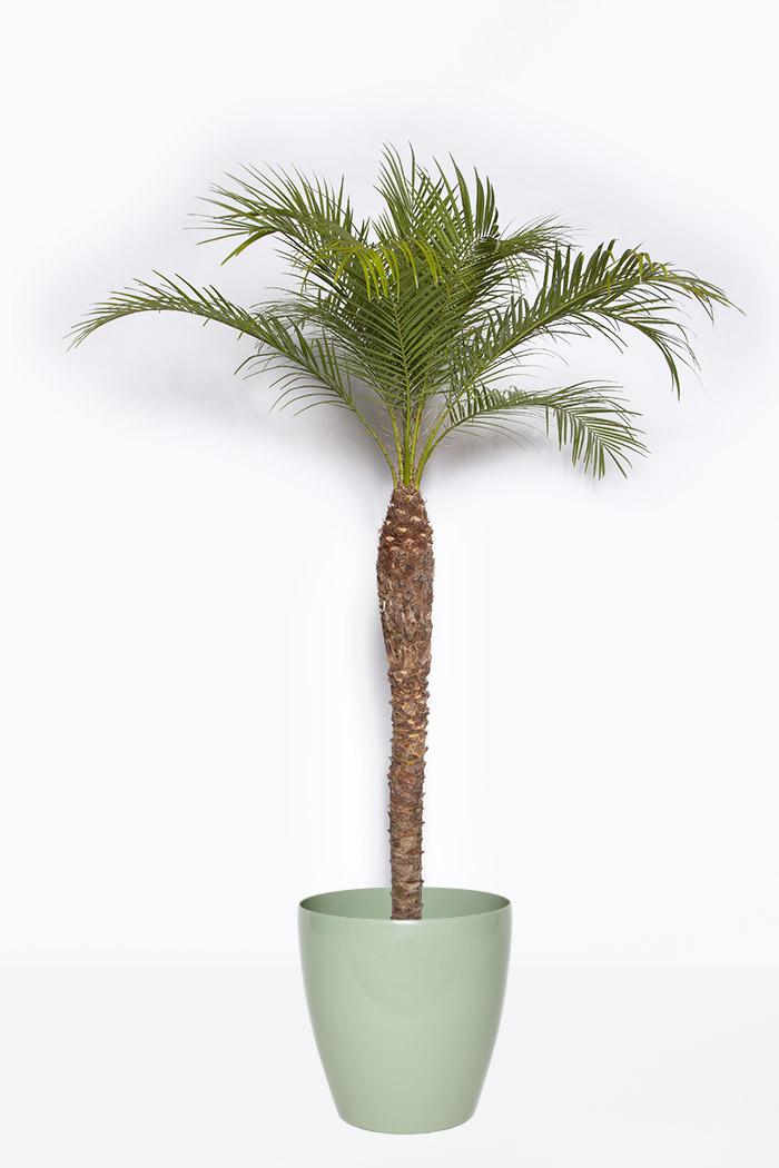 観葉植物 フェニックスロベレニー(10号鉢)