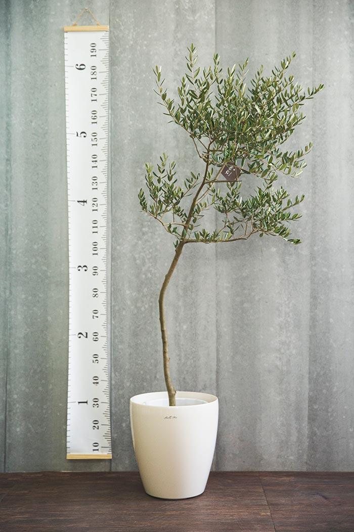 観葉植物 オリーブの木(創樹) ※1点物(10号鉢)①