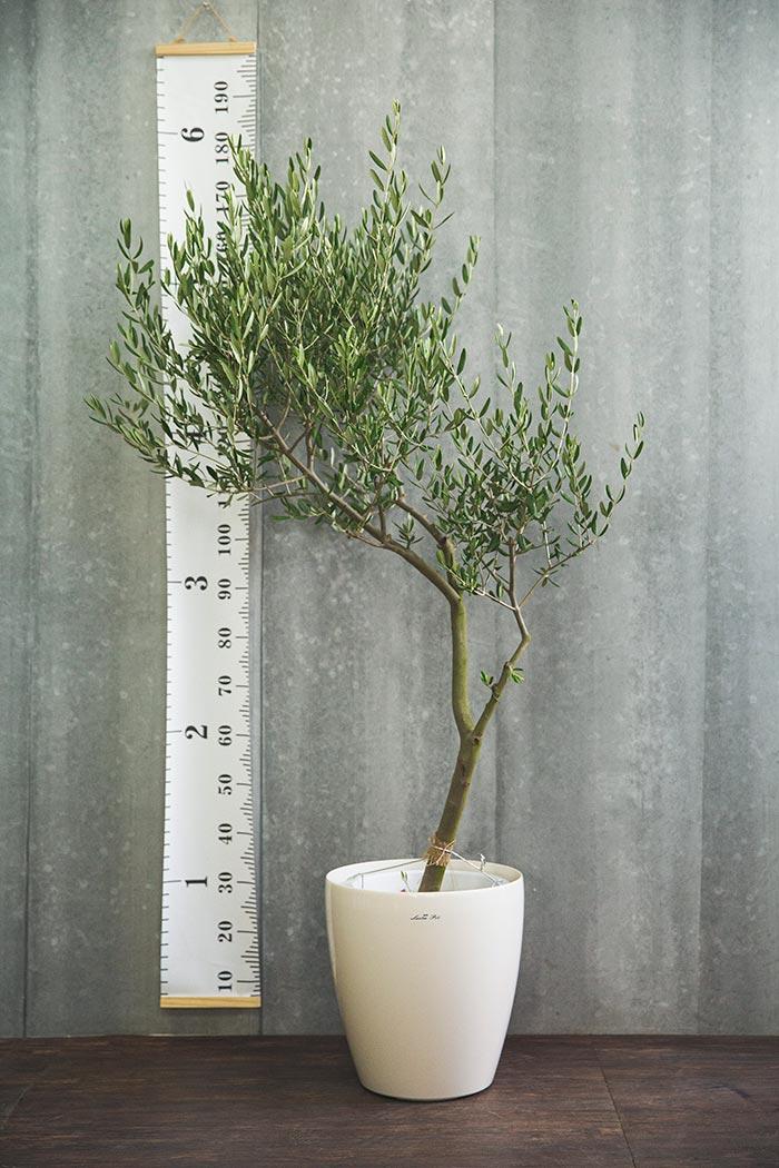 観葉植物 オリーブの木(創樹) ※1点物(10号鉢)③
