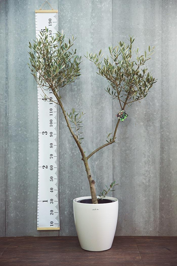 観葉植物 オリーブの木(創樹) ※1点物(10号鉢)④