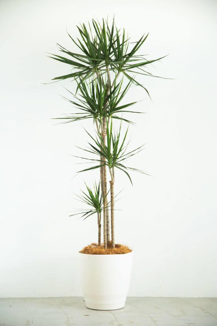 観葉植物 ドラセナ コンシンネ(10号鉢)