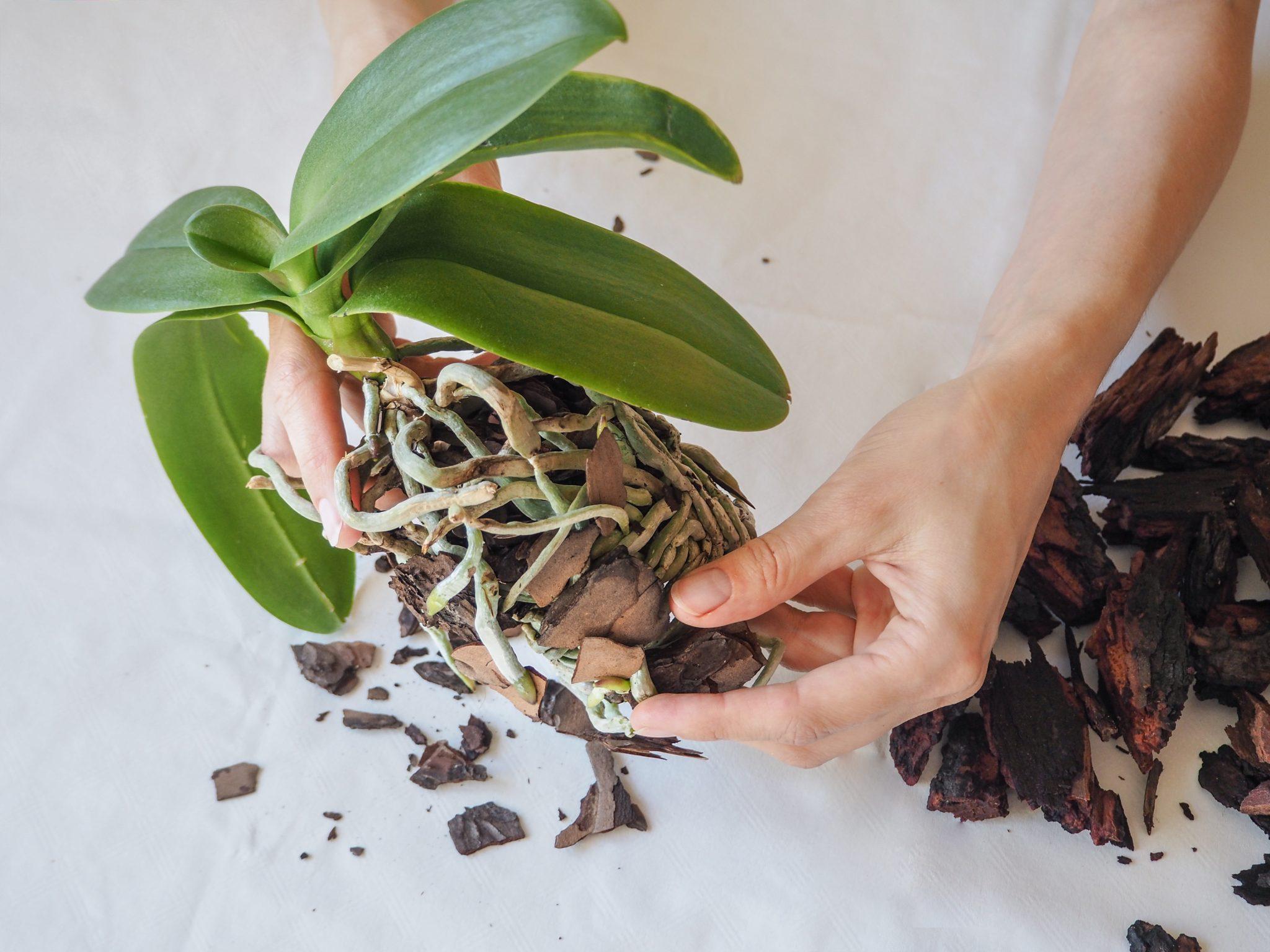 胡蝶 蘭 植え 替え 時期