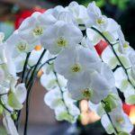 胡蝶蘭はお花の中でも寿命が長い