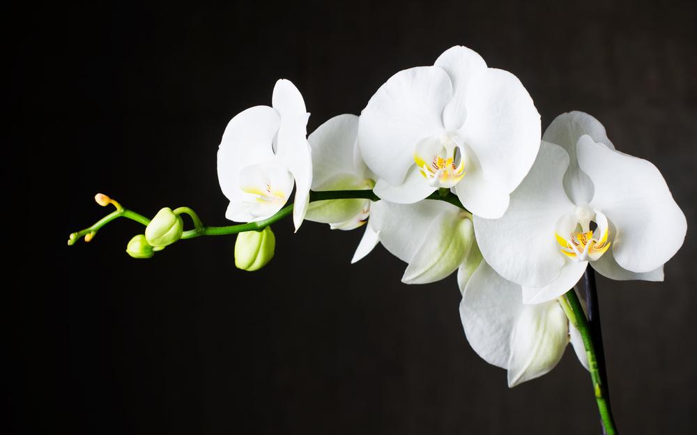 胡蝶蘭を葬儀や法要、お悔やみの供花として贈る時