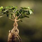 育てやすい観葉植物として人気のガジュマルをご紹介
