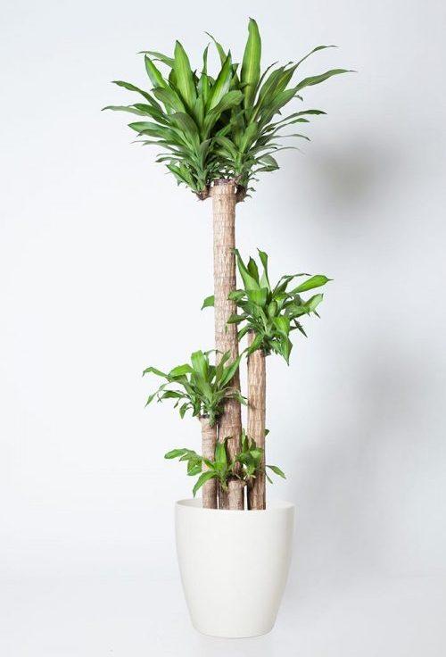 ドラセナ 種類