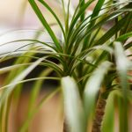 運気アップに人気の観葉植物ドラセナについて