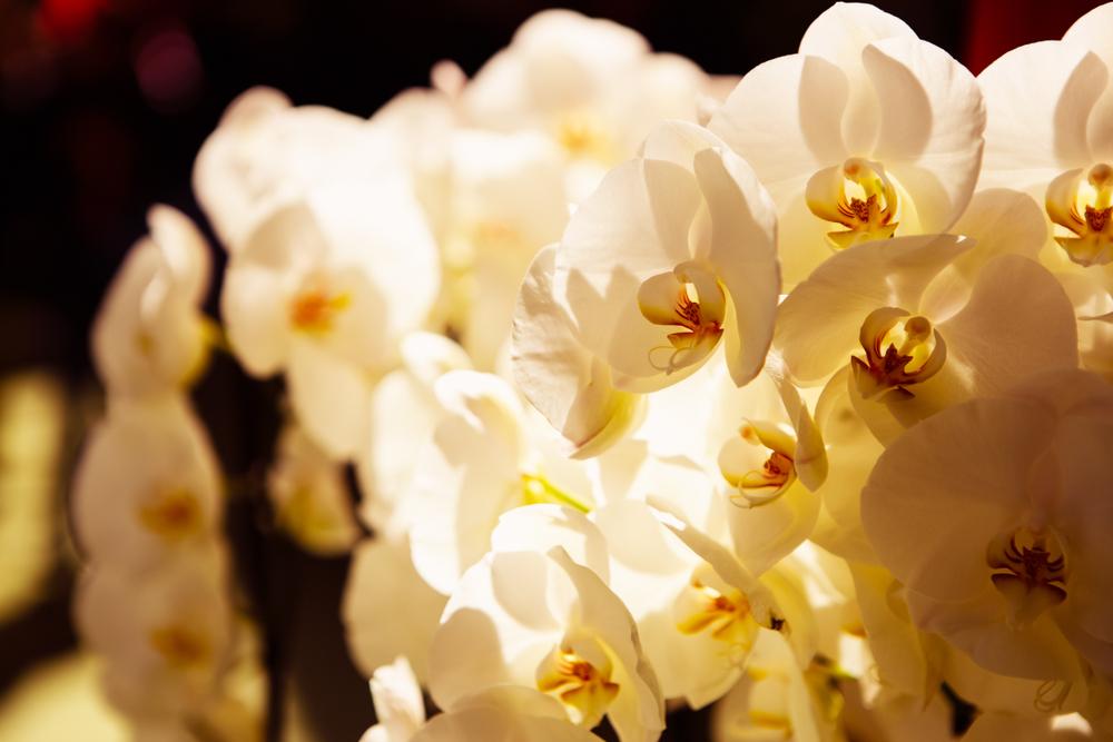 ビジネスシーンで胡蝶蘭を贈る時のマナー