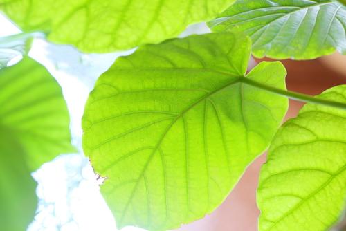 おしゃれで人気!ハートがかわいい観葉植物フィカスウンベラータの育て方と増やし方について