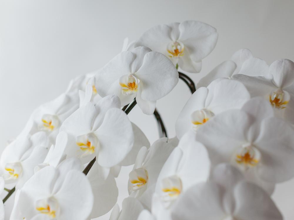 お祝いの贈り物に人気の3本立ちの胡蝶蘭について