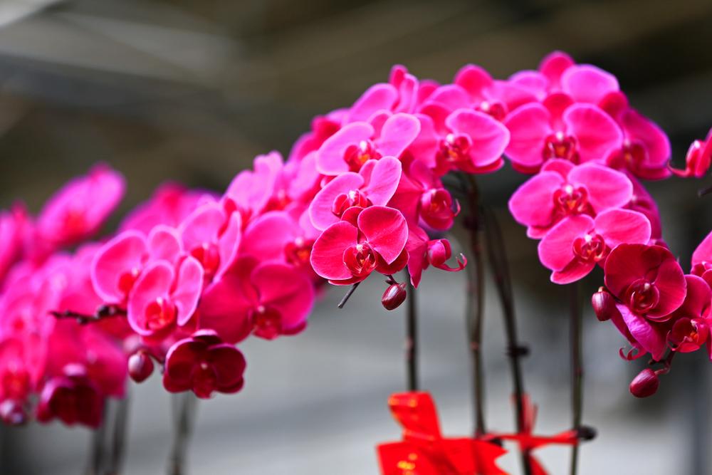 お祝いや記念日に女性にお花を贈るならミディ胡蝶蘭が最適